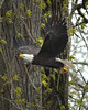 """Bald Eagle protecting its nest Duwamish River Seattle, WA <a href=""""http://micheleburton.blogspot.com/2016/03/photo-of-week-march-25-2016.html"""">March 25, 2016</a>"""
