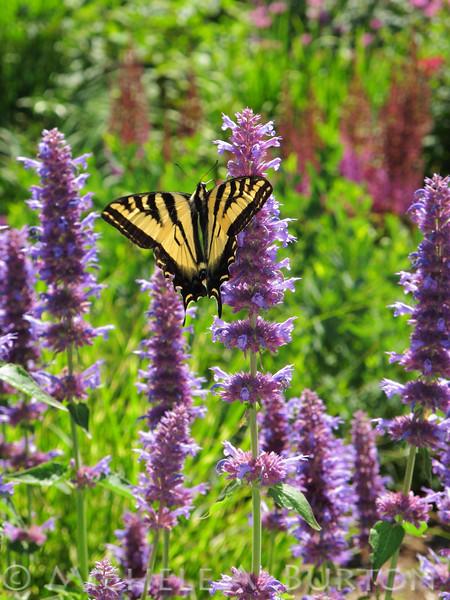 "Swallowtail Butterfly  Bellevue Botanic Gardens  Bellevue, WA <a href=""http://micheleburton.blogspot.com/2013/07/photo-of-week-july-2-2013.html"">July 2, 2013</a>"
