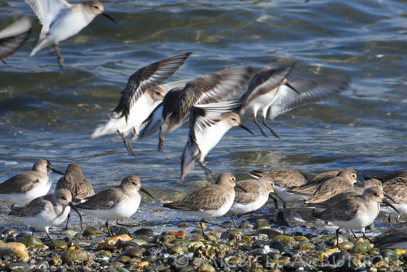 Western Sandpipers landing on the beach <i>Calidris mauri</i>   NorthPoint Swantown Marina Olympia, WA February 7, 2014