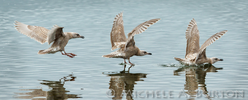 Immature Gull landing on Budd Inlet<br /> <br /> Olympia, WA <br /> <br /> February 20, 2015<br /> Three shot sequence