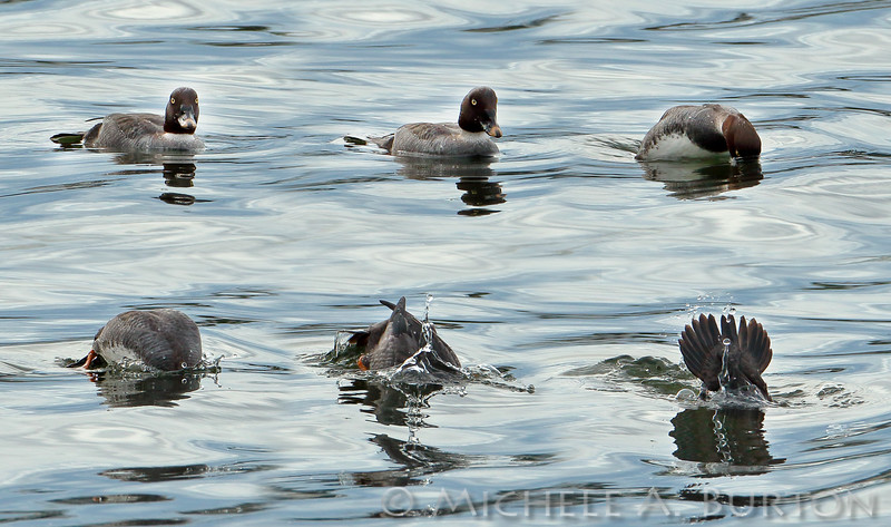 Female Common Goldeneye <i>Bucephala clangula</i> diving sequence  Budd Inlet Olympia, WA  February 8, 2015  Six shot sequence