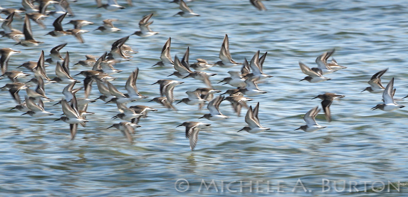 Western Sandpipers in flight <i>Calidris mauri</i>   NorthPoint Swantown Marina Olympia, WA February 7, 2014