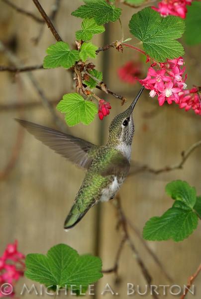 Anna's Hummingbird feeding on red flowering currant