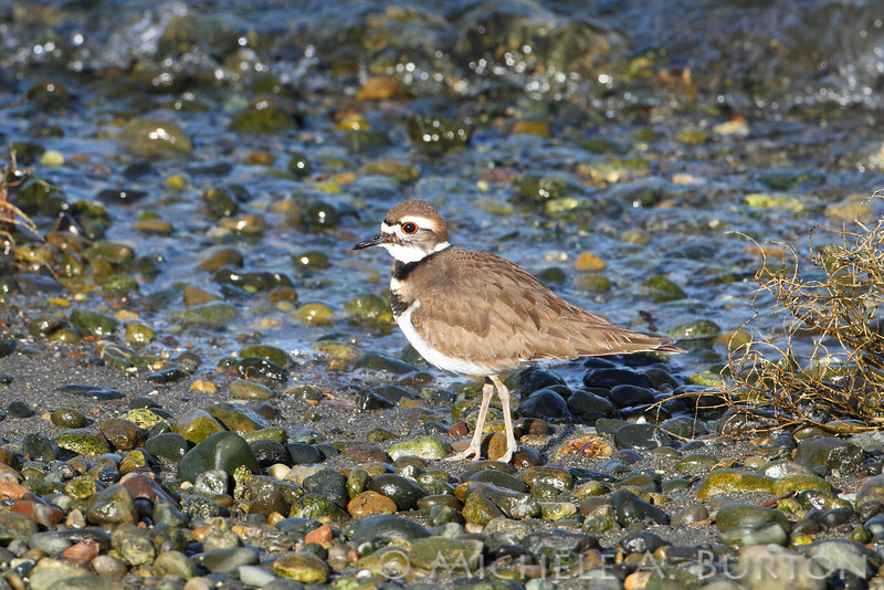Killdeer on the beach <i>Charadrius vociferus</i>  NorthPoint Swantown Marina Olympia, WA February 7, 2014