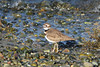 Killdeer on the beach Charadrius vociferus  NorthPoint Swantown Marina Olympia, WA February 7, 2014