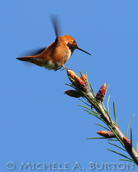Male Rufous Hummingbird just about to land <i>Selasphorus rufus</i>  Black Lake Meadows Olympia, WA May 1, 2014