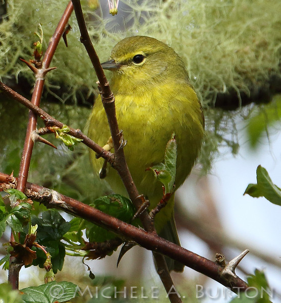 One of the distinctive characteristics of the Orange-crowned warbler is its eye stripe.