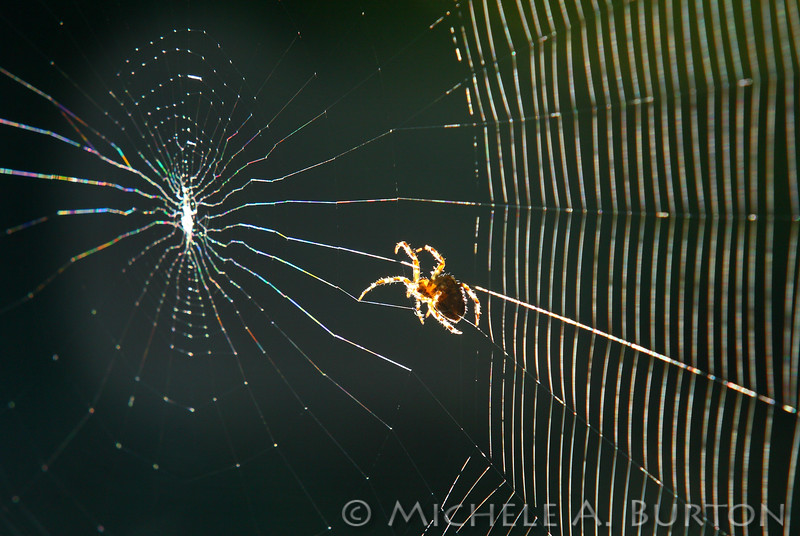 Orb Weaver Spider<br /> spinning a new web in the sunlight<br /> <br /> Tumwater Falls Park<br /> Tumwater, WA<br /> October 6, 2014