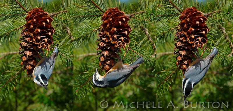 Red-breasted Nuthatch feeding sequence (3 images)  <i> Sitta canadensis</i>  Black Lake Meadows Olympia, WA  March 6, 2015