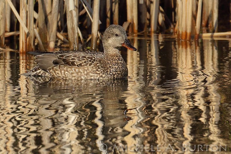 Female Gadwall blends in with the cattail reeds at Magnuson Park in Seattle, Washington