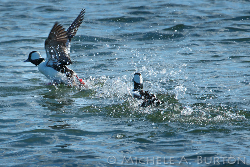 Male Buffleheads chasing one another during mating season   <i>Bucephala albeola</i>  Budd Inlet Olympia, WA  March 2, 2015