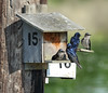 Purple Martins on nesting boxes at Budd Inlet - Olympia, WA