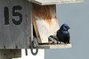 Three juvenile Purple martins poke their heads out of the nesting box while an adult male keeps watch<br /> <br /> Port of Olympia<br /> Olympia, WA <br /> <br /> July 24, 2015