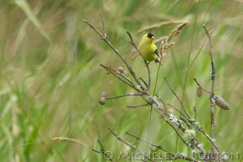 Male American aoldfinch feeds on seeds from tall grasses<br /> June 20, 2016