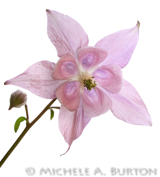 Columbine in my front yard, photographed from below<br /> <br /> May 4, 2016