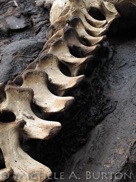 "Marine Mammal Bones Cape Alava  Olympic National Park Washington <a href=""http://micheleburton.blogspot.com/2013/08/photo-of-week-august-4-2013.html"">August 4, 2013</a>"