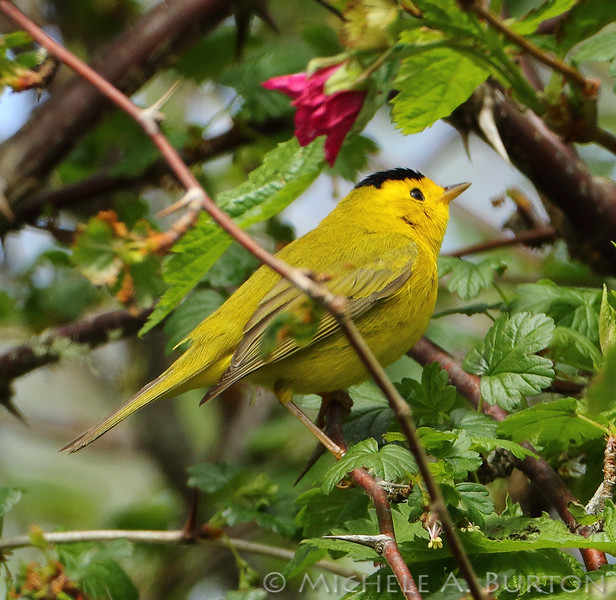 Wilson's Warbler shows its distinctive black cap