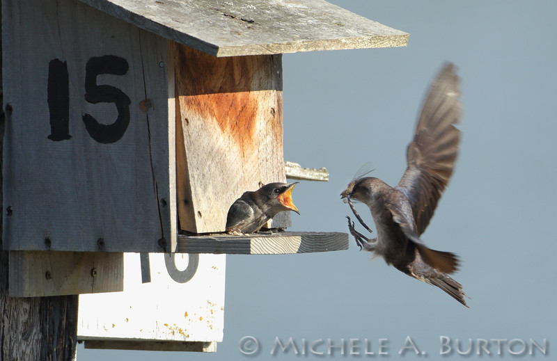 Female adult Purple martin flies in with a dragonfly to feed a waiting juvenile<br /> <br /> Port of Olympia<br /> Olympia, WA <br /> <br /> July 24, 2015