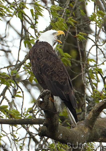 "Bald Eagle protecting its nest Duwamish River  Seattle, WA <a href=""http://micheleburton.blogspot.com/2016/03/photo-of-week-march-25-2016.html"">March 25, 2016</a>"