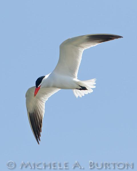Caspian Tern in flight over Puget Sound
