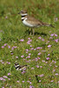 Baby Killdeer chick feeds among the wildflowers under the watchful eye of its' parent