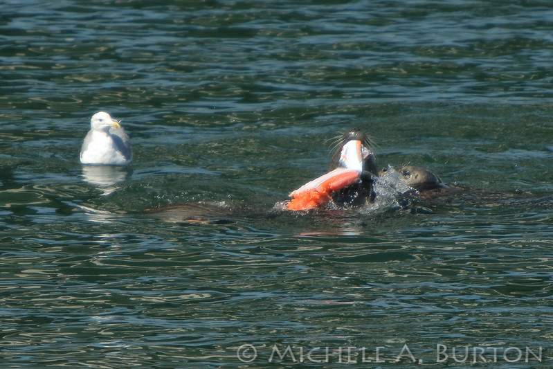 Harbor seals skin and fillet a Chinook salmon while a gull looks on hopefully.