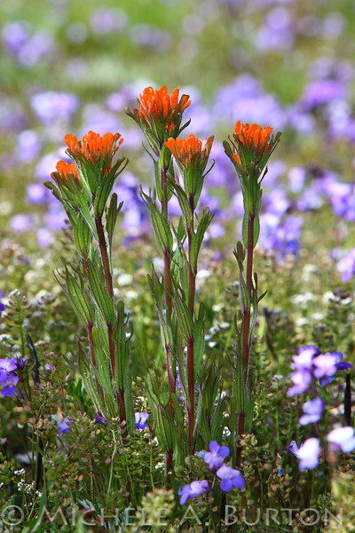 "Scarlet Paintbrush and blue-eyed Mary <i>Castilleja miniata</i> and <i>Collinsia parviflora</i>  Scatter Creek Wildlife Area  May 1, 2015  Read more about South Sound Prairies <a href=""http://micheleburton.blogspot.com/2015/05/photo-of-week-may-1-2015.html"">here</a>"