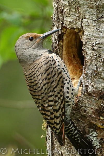 Male Northern red-shafted flicker excavates nest cavity in an alder snag as the female explores the work. Tumwater, Washington. April 27, 2020