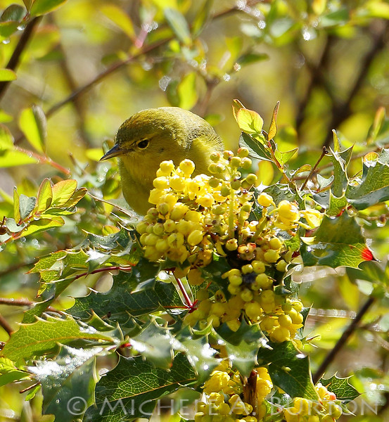Orange-crowned warbler looking for insects while perched on an Oregon Grape bush. If you look carefully, you can see a hint of orange on top of its head; this is where it got its name.