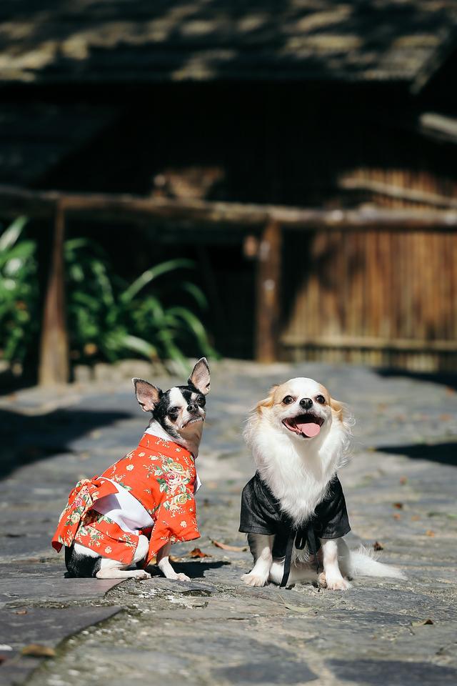 吉娃娃,婚紗,寵物,寫真,毛孩,攝影,狗狗,喵星人,汪星人,寵物攝影價格,小型犬,台北,台中,寵物寫真,黃金獵犬寫真,柴犬,
