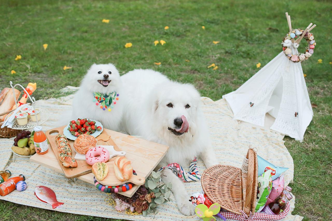 大白熊,庇里牛斯山犬,婚紗,寵物,寫真,毛孩,攝影,狗狗,喵星人,汪星人,寵物攝影價格,小型犬,台北,台中,寵物寫真,黃金獵犬寫真,柴犬,米克斯,狐狸犬,