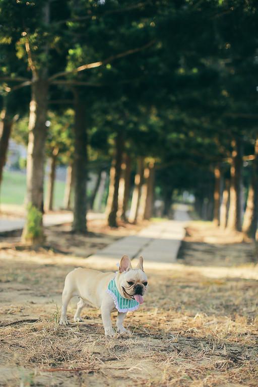《寵物寫真》看起來超憨厚的大女孩MAIMAI / 法國鬥牛犬法鬥