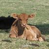 13  calf