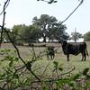 8  cow