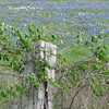 Fence post with blue bonnets