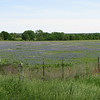 a Field of Bluebonnets. Horses were pastured here too.