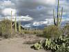 view of hillside in Saguaro preserve