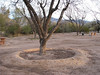 Tree well at Fort Lowell