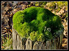 Moss colony on a small wooden post. Three Sisters recreation Area, Bryn, Lancs.