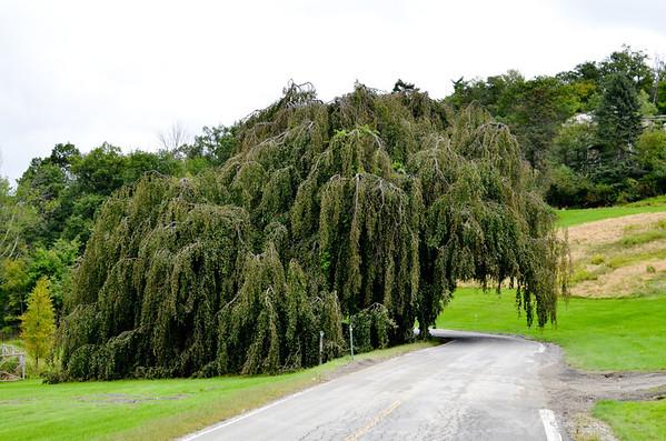 Tree near Mohonk Mountain House, New Paltz NY