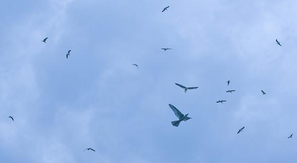 Mechanical bird attracting real birds, Holyrood Park, Scotland