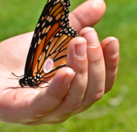Lucia holding a Monarch butterfly that is getting ready for migration to Mexico that she tagged.  Up Yonda Farm, Bolton Landing NY