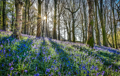 Bluebells at sunrise, Wenallt.