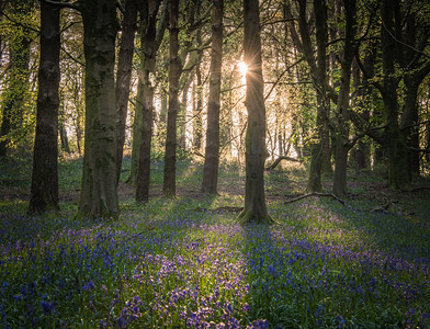 Bluebell season at the Wenallt