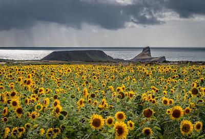 Rhossili Sunflowers, Gower