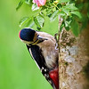 Woodpecker & Wild Rose