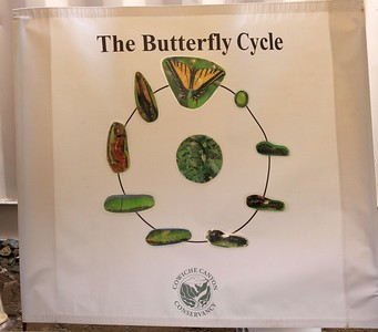 Cowiche Canyon Conservancy's butterfly life cycle display