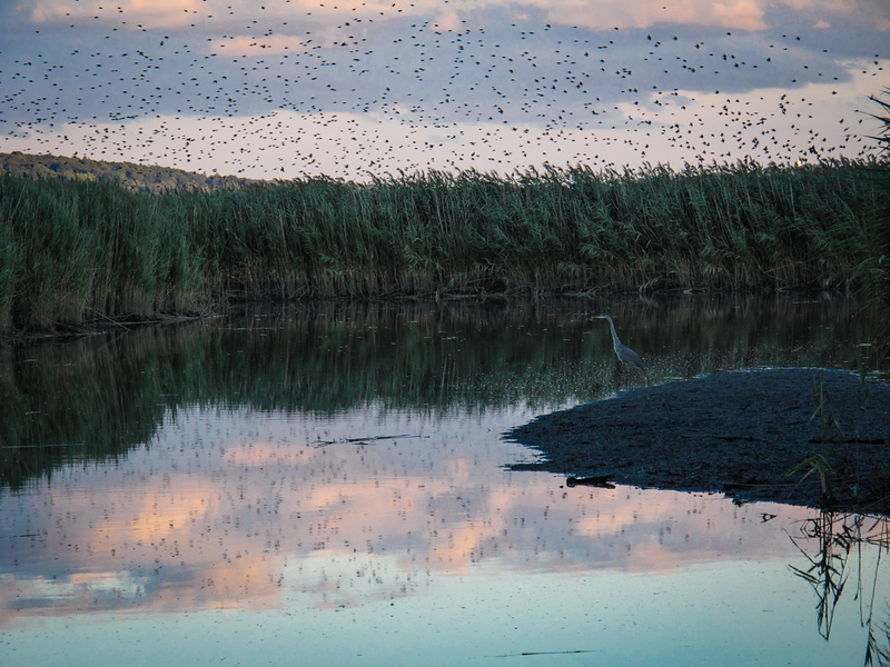 LAURIE_PEEK_Heron_at_Dusk,_Piermont_Marsh