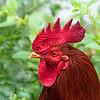 Red cockerel in profile