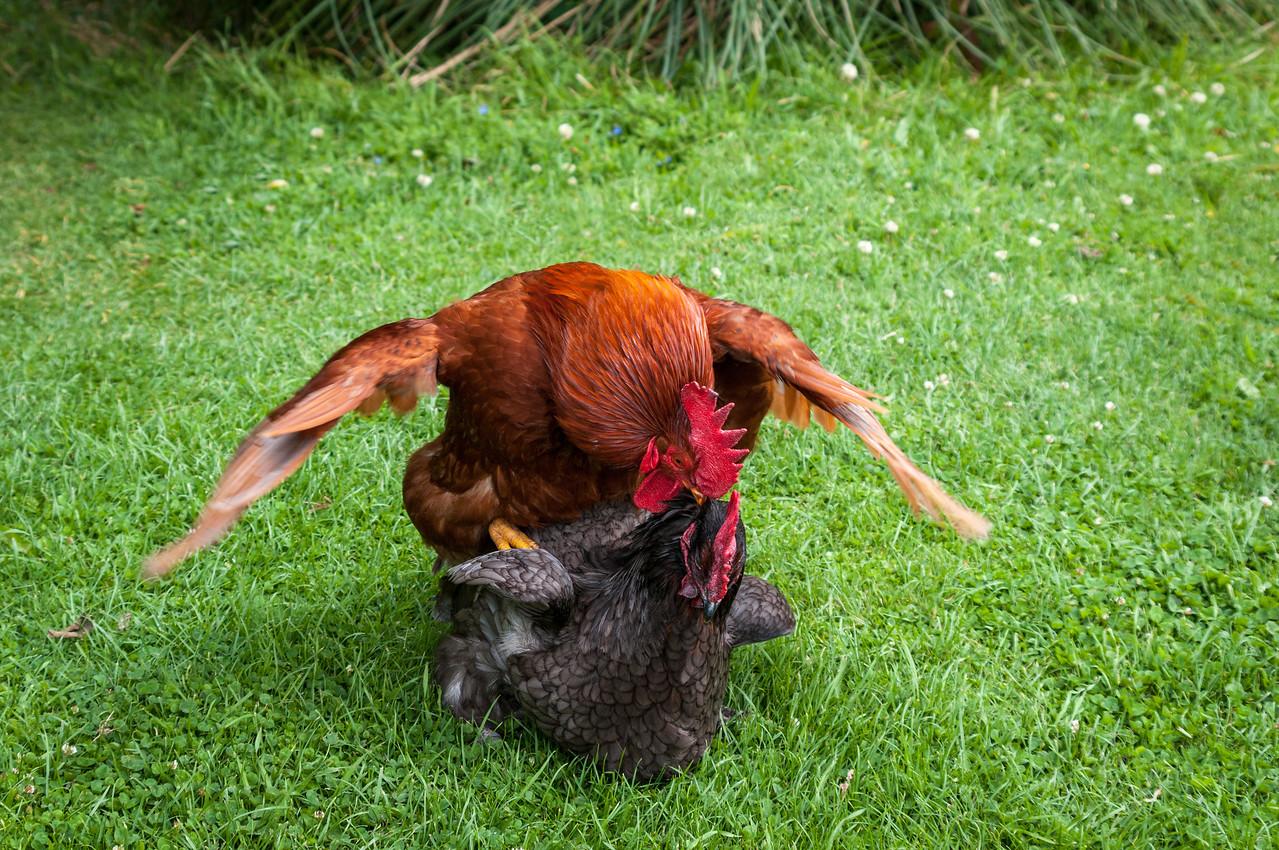 Cockerel mating